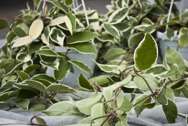 le piante | vivaivalverde - Fiori Cascanti Crescita Veloce