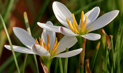 Zephyranthes candida rid