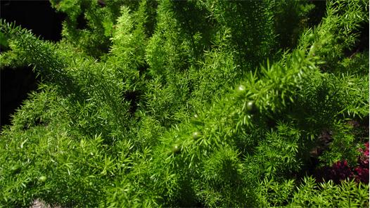 Asparagus densiflorus myersii rid