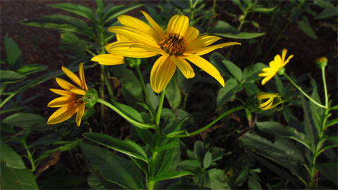 Helianthus tuberosus vivaivalverde for Topinambur pianta