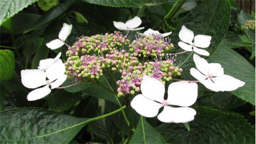 Ortensia bianca rid