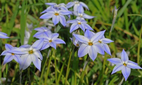 triteleia uniflora rid