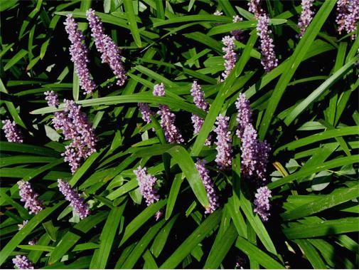 Liriope muscari viola rid