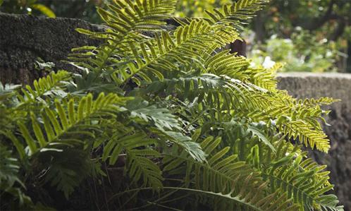 Nephrolephis cordifolia rid