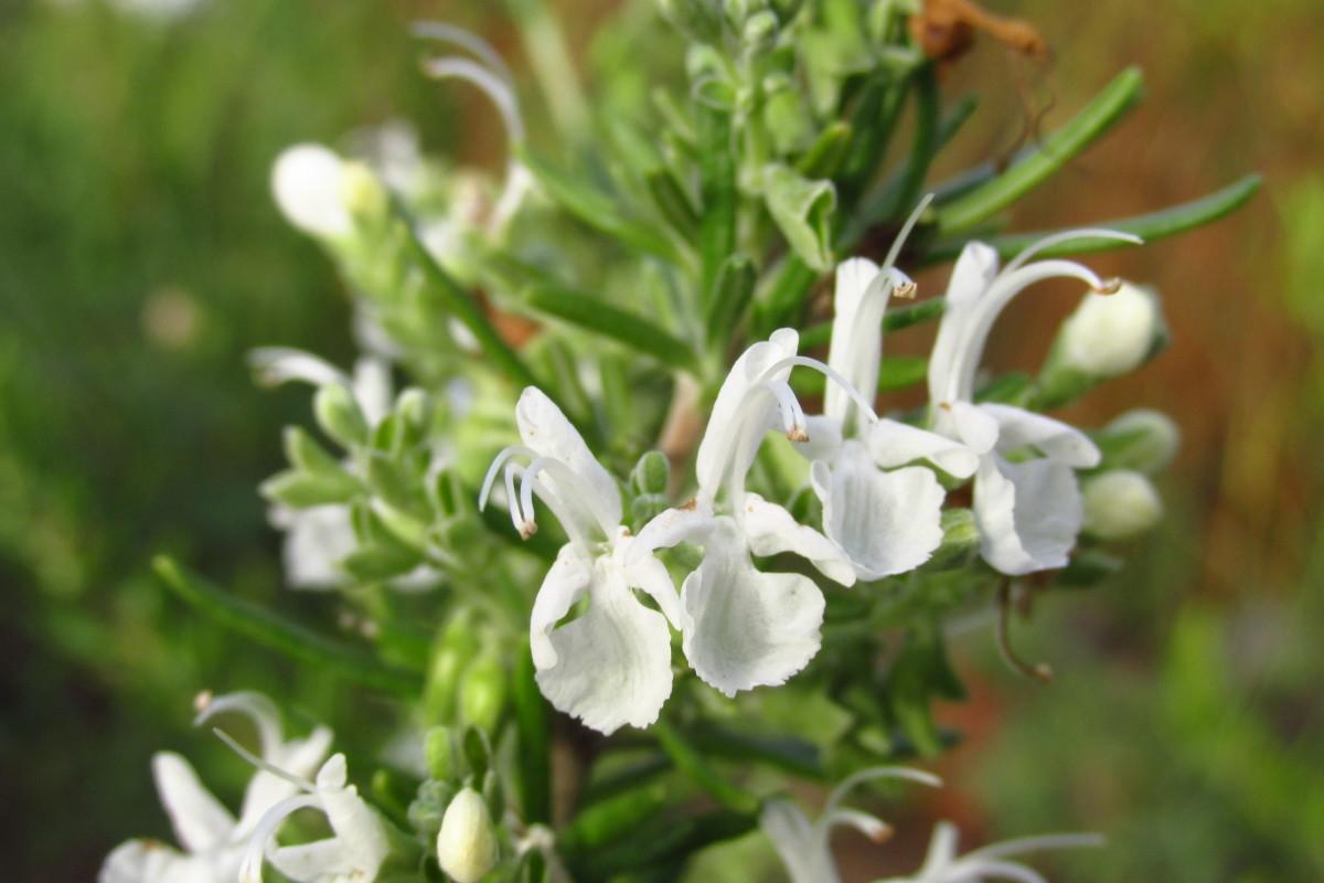Rosmarinus bianco
