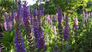 Salvia nemorosa rid