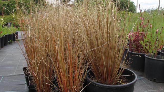 Carex buchananii_Vivai Valverde