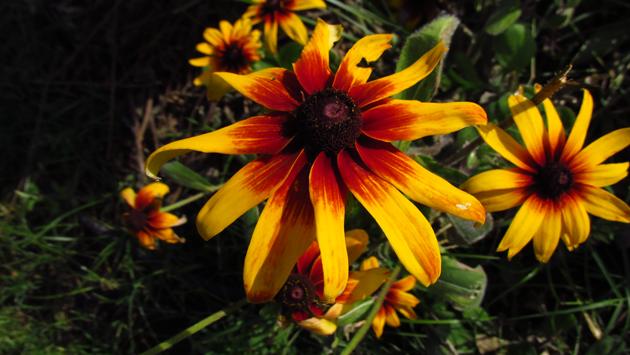 Echinacea gialla_Vivai Valverde