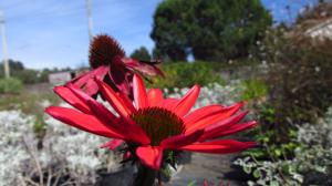 Echinacea rossa_Vivai Valverde