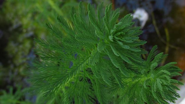 Myriophyllum aquaticum_Vivai Valverde