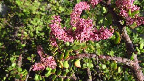 Portulacaria afra fiore rid