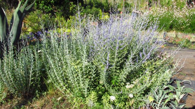 perovskia atriplicifolia_Vivai Valverde